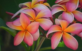 Preview wallpaper Plumeria, beautiful pink flowers