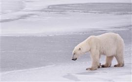 Urso Polar caminhando, neve