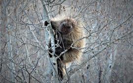Porco-espinho na árvore