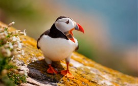 Puffin, bird, look back