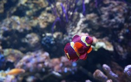 Preview wallpaper Purple clownfish