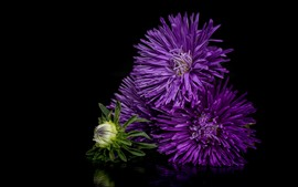 Preview wallpaper Purple flowers, asters, black background