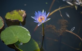 Preview wallpaper Purple petals water lily, pond, leaves
