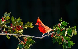 Preview wallpaper Red cardinal bird, twigs, red berries