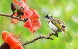 Coton rouge, fleurs, oiseau