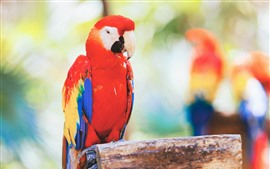 Preview wallpaper Red feather parrot, stump