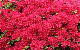 Red flowers flowering, rhododendron