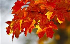 Folhas de bordo vermelho, outono, luz solar