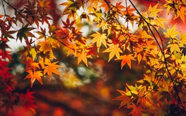 Red maple leaves, yellow, autumn