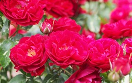 Rosas rojas, flores de primer plano, jardín.