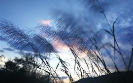 Reed, grass, sky, dusk