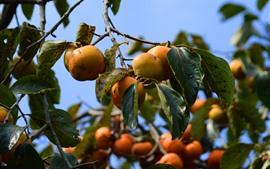 壁紙のプレビュー 熟した柿