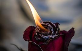Rose brûlant
