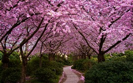 Preview wallpaper Sakura flowering, trees, path, garden, spring
