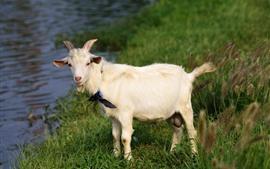 Ovelhas, grama, rio