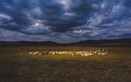 Preview wallpaper Sheep, grassland, clouds, dusk