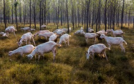 Preview wallpaper Sheep, trees, grass