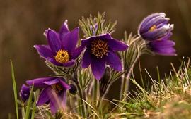 Preview wallpaper Sleep-grass, purple flowers