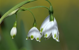 Preview wallpaper Snowdrops, white flowers, bokeh