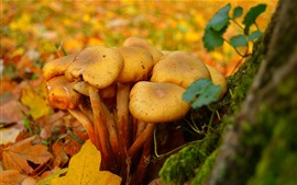 Preview wallpaper Some mushrooms in autumn