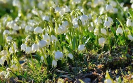 Preview wallpaper Spring flowers, white snowdrops, sunlight