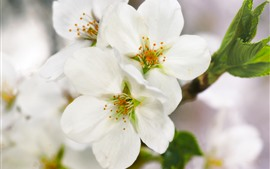 Preview wallpaper Spring, white flowers bloom