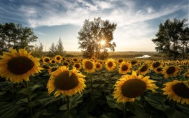 Preview wallpaper Sunflowers, trees, morning, sun rays