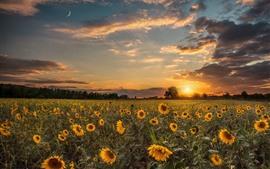 Sunflowers, trees, sunset, sky
