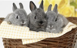Three gray rabbits, basket