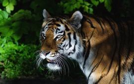 Tigre, regarde en arrière, ombre
