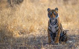 Tiger sentar no chão, grama, vista frontal, olhar