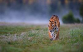 預覽桌布 老虎走在草地上,正面