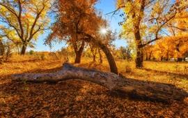 Árboles, bosque, rayos de sol, hojas amarillas, otoño.