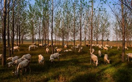 Preview wallpaper Trees, sheep eat grass, countryside