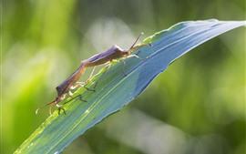 Deux coléoptères, feuille d'herbe