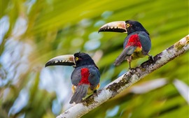 Preview wallpaper Two birds, toucan, look back, tree branch