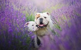 2つのブルドッグ、ラベンダーの花