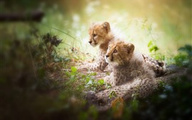 Preview wallpaper Two cheetah cubs, hazy