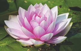 Flor de lirio de agua, pétalos de rosa.