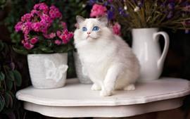 Gato branco, olhos azuis, mesa