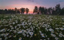 Preview wallpaper White chamomile flowers field, trees, sunset