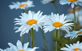 Preview wallpaper White chamomile, petals, bokeh