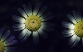 Preview wallpaper White chamomile, petals, darkness, art style