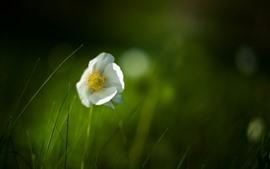 Flor branca, solitária, fundo verde