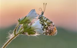 Flores brancas, borboleta, asas, inseto