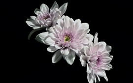 Flores de pétalas brancas, fundo preto