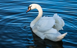 White swan, pond, blue water