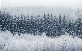 Winter, forest, trees, snow, cold