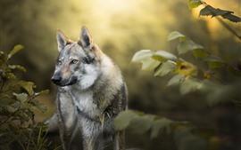 Волк, кусты, листья