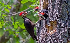 Preview wallpaper Woodpecker, feeding